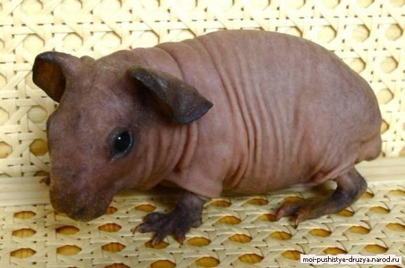 свинки скинни фото